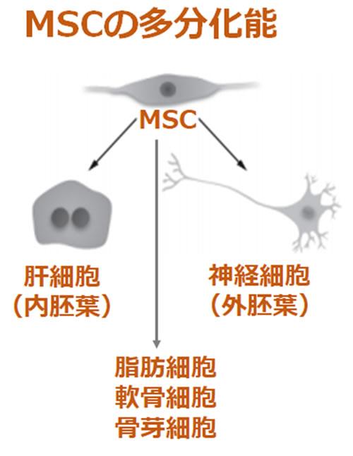 MSCの多分化能